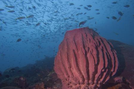 guinea worm: A Giant sponge in the blue background Raja Ampat Papua, Indonesia Stock Photo