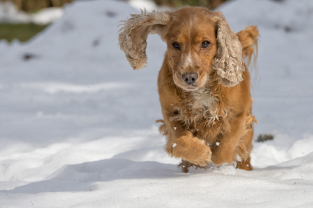 Young cocker spaniel dog looking at you while playing on the snow photo