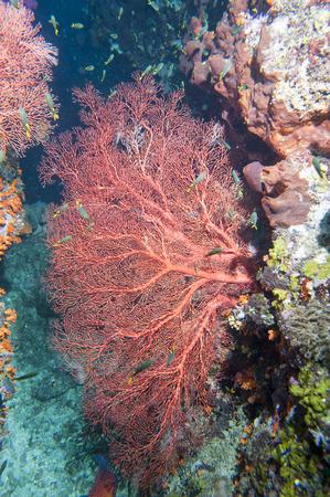 guinea worm: Colorful underwater landscape reef of Raja Ampat Papua