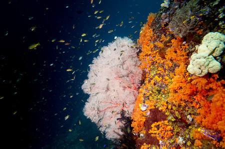 guinea worm: Colorful underwater reef of Raja Ampat Papua, Indonesia