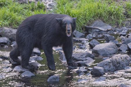 oso negro: Un oso negro mientras Comig a usted a través del arroyo Foto de archivo