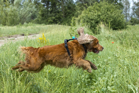 English cocker spaniel dog jumping on green grass photo