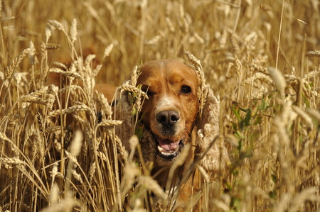 English cocker spaniel dog in the grain field photo