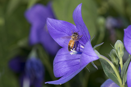 bee collecting pollen inside a violet flower photo
