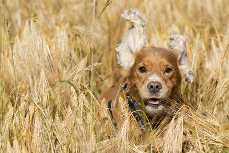 English puppy cocker spaniel while running in the wheat mature field and looking at you photo