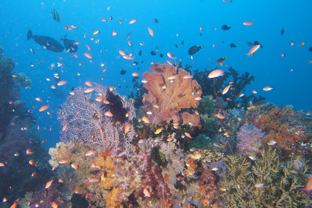 guinea worm: Colorful underwater landscape reef of Raja Ampat Papua