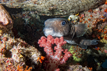 Box fish portrait in the reef background photo