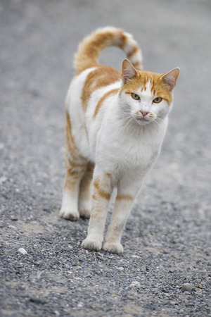 White and brown cat  photo