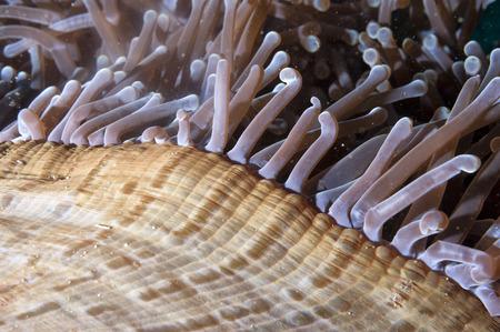 guinea worm: Anemone Tentacles in Raja Ampat Papua, Indonesia