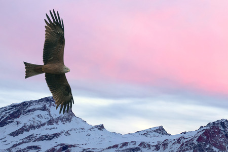 Eagle flying on pink sunset mountain background in winter time photo