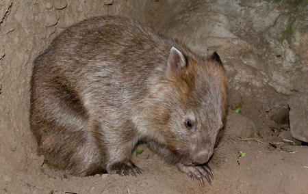 wilsons promontory: A wombat bear from Australia close up portrait Stock Photo