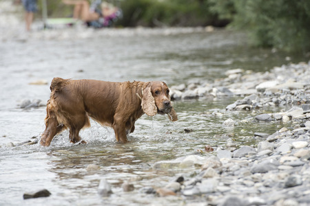 Happy english cocker spaniel while playing in the river photo