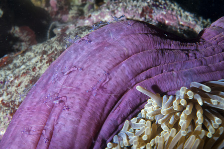 guinea worm: Transparent shimp inside anemone in Indonesia