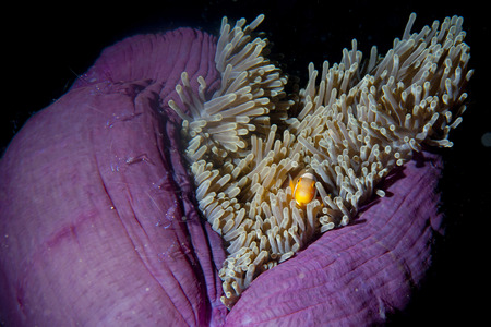 Clown fish in anemone with shrimps in Raja Ampat Papua, Indonesia photo