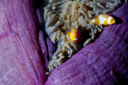 guinea worm: Clown fish family inside a pink violet anemone with shrimps