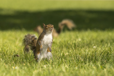 A squirrel  in the green grass background photo
