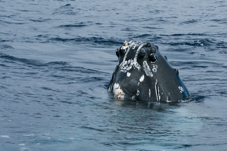Humpback whale head comuing up in deep blue polynesian ocean photo