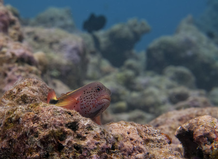 sweetlips: A colorful sergeant fish looking at you  in Maldives