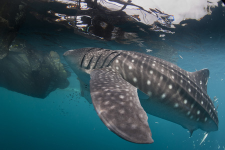 Isolated Whale Shark portrait underwater in Papua photo