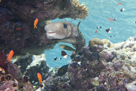 A box fish in the reef background photo
