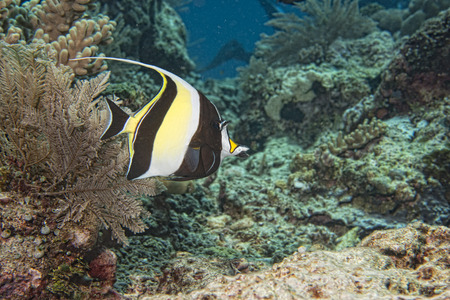 zanclus cornutus: Moorish idol fish underwater portrait