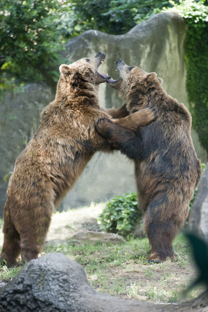 Two black grizzly bears while fighting close up portrait photo