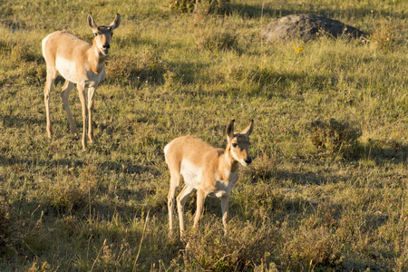 Young puppy group of Antelope American antilocapra while running in Lamar valley Yellowstone photo