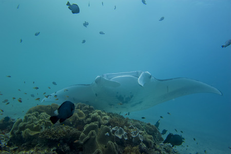 An isolated Manta in the blue background Stock Photo