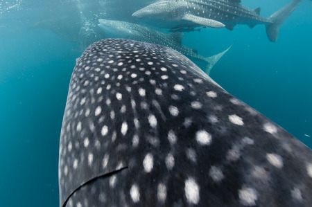 Whale Shark close up portrait underwater in Papua Stock Photo