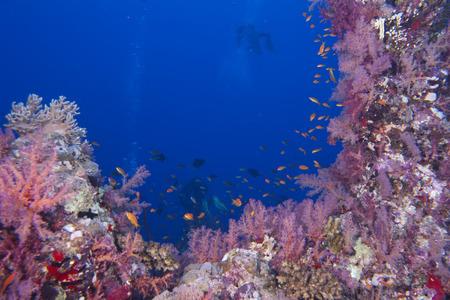 napoleon fish: A soft coral in the blue sea background
