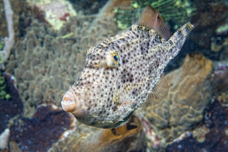 triggerfish underwater while diving in Lembeh Indonesia photo