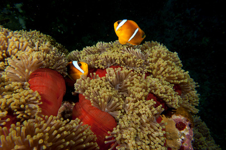 A couple of clown fish in the red and brown anemone over the black background photo