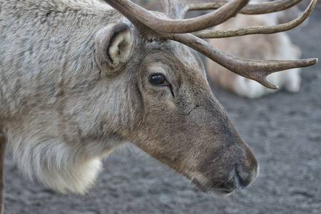 reindeer portrait while looking at you photo