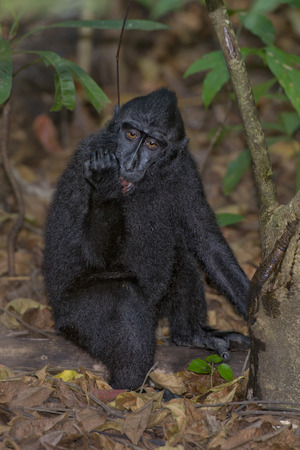 celebes: Celebes Sulawesi crested black macaque portrait Stock Photo