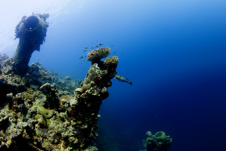 live coral: A parrot fish near ship wreck in red sea