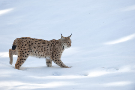lynx in the snow background while looking at you photo