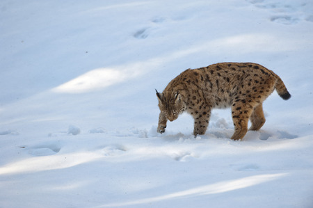 A Lynx in the snow background while looking at you photo