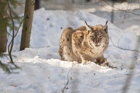 lynx in the snow    photo