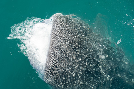 Whale Shark close up with big enormous open mouth jaws photo