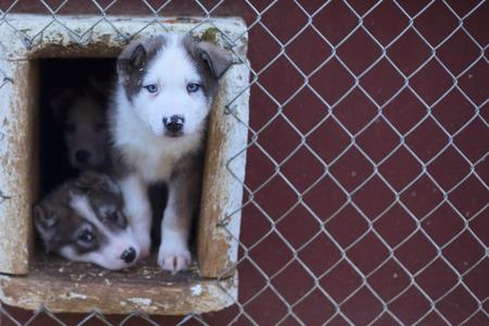 esquimales: cachorro dos meses de vida husky retrato trineo de perros