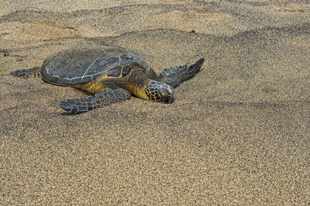 Green Turtle while relaxing on sandy beach photo