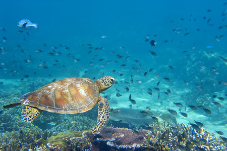 A sea Turtle portrait close up while looking at you and swimming in the deep blue ocean