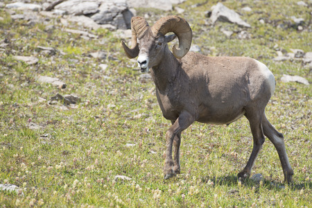 ovis: Big Horn Sheep Ovis canadensis portrait on the mountain background
