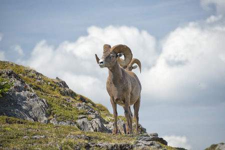 ram horn: Big Horn Sheep Ovis canadensis portrait on the mountain background