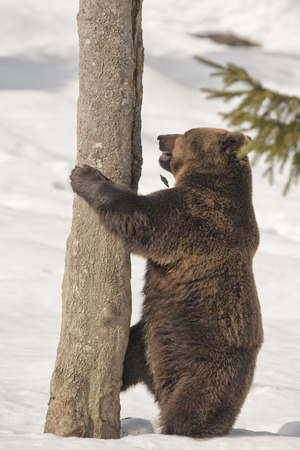 A black bear brown grizzly portrait in the snow while climbing on a tree photo