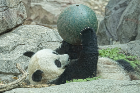 giant panda while playing with a ball close up portrait photo