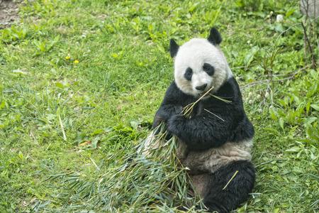 giant panda while eating bamboo close up portrait photo