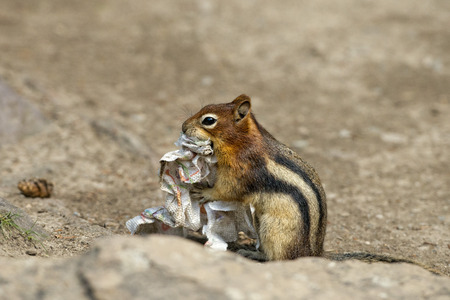 Ground chipmunk squirrel portrait while looking at you photo