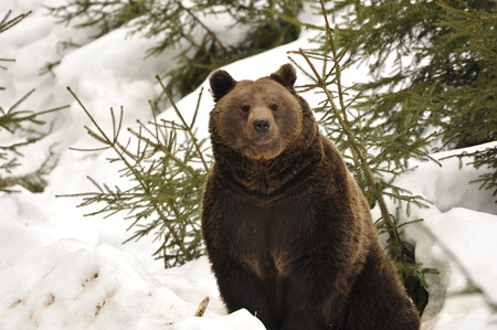 A black bear brown grizzly portrait in the snow while looking at you photo