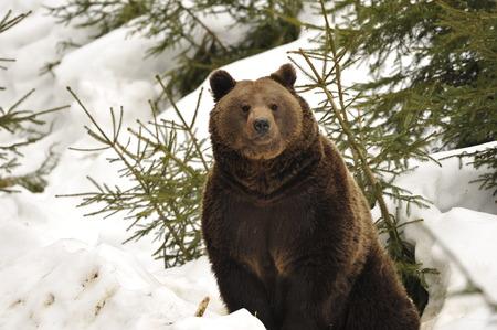 grizzly: Un ours noir portrait brun grizzly dans la neige tout en vous regardant